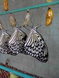 éclosoir à papillon - serre à papillons