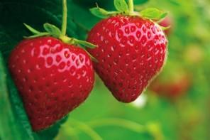 fraises cueillette à la ferme