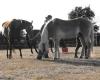 camping Kernéjeune chevaux